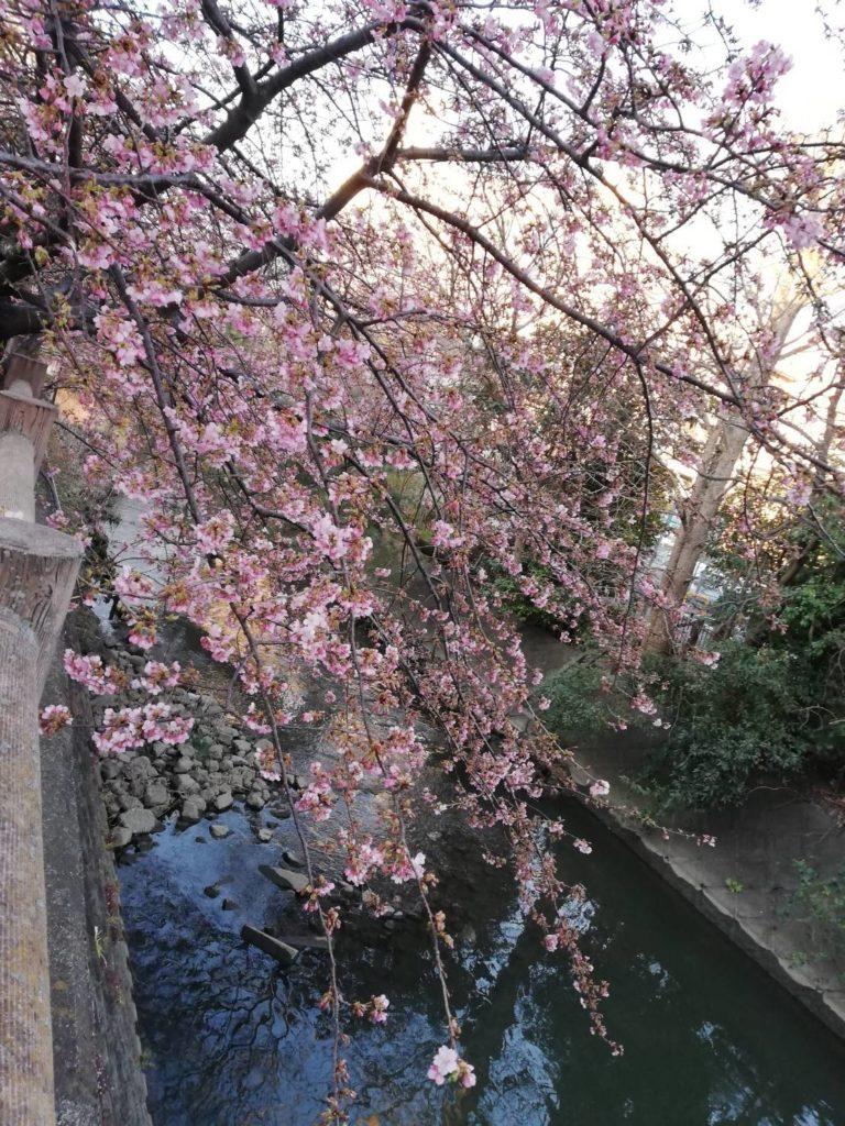 坂川沿い河津桜