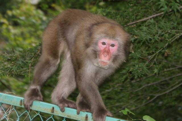 猿捕獲松戸小山ポンプ場